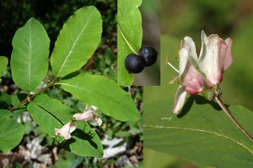 Honeysukle & moschatel families