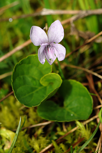 <em>Viola palustris</em>