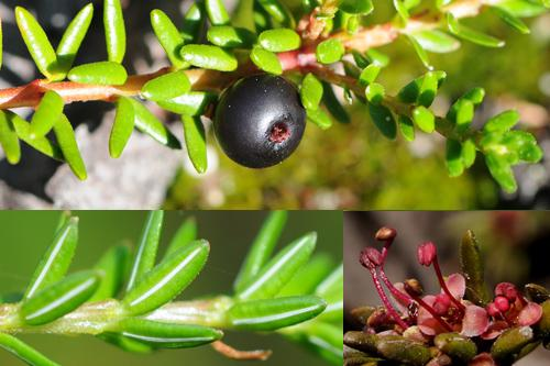 Heather, Crowberry & Wintergreen families
