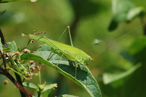 Sickle-bearing Bush-cricket