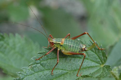 Blunt Bush-cricket
