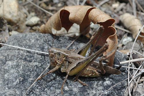Platycleis albopunctata, Westliche Beissschrecke, Grey Bush-cricket, Decticelle chagrinée