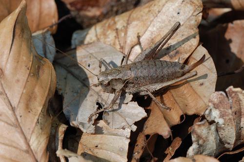 Pholidoptera griseoaptera, Gewöhnliche Strauchschrecke, Dark Bush-cricket, Decticelle cendrée