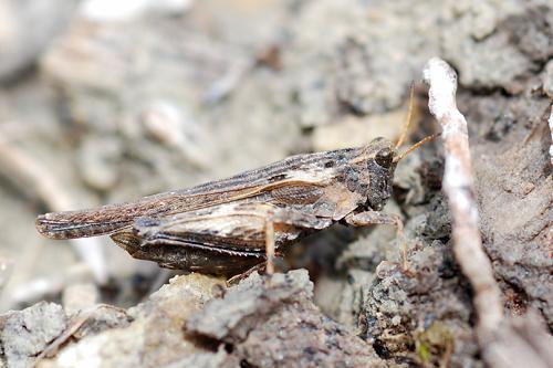 Tetrix subulata, Säbeldornschrecke, Slender Groundhopper, Tétrix riverain