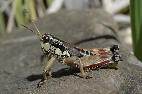 Podisma pedestris, Gewöhnliche Gebirgsschrecke, Brown Mountain Grasshopper, Miramelle des moraines