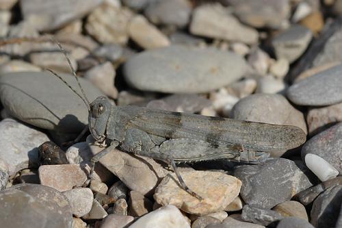 Sphingonotus caerulans, Blauflüglige Sandschrecke, Slender Blue-winged Grasshopper, Oedipode aigue-marine