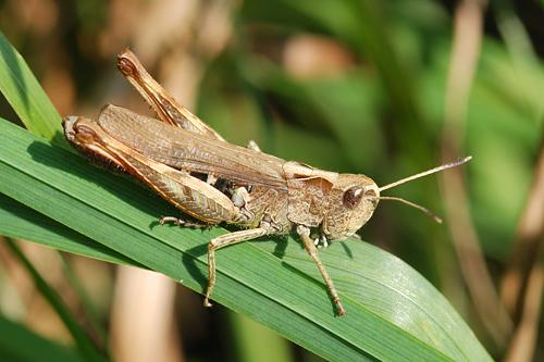 Gomphocerippus rufus, Rote Keulenschrecke, Rufous Grasshopper, Gomphocère roux