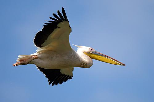 Great White Pelican