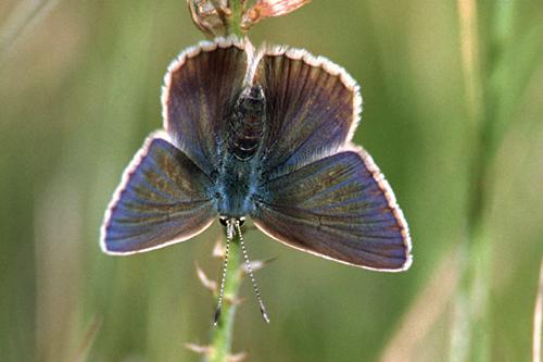Lycaenidae (Blues, Hairstreaks & Coppers)
