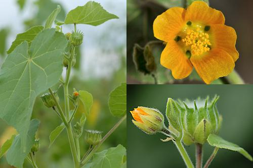 Wood-sorrel, Rock-rose, Mallow, Rue & Mezereon Families