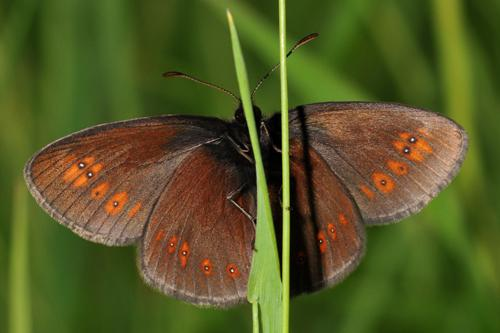 Nymphalidae (Brush-footed butterflies)