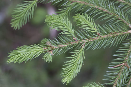 Subalpine spruce & larch-arolla pine wood