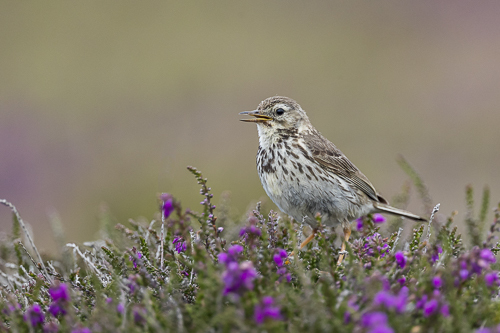Larks, Pipits & Wagtails